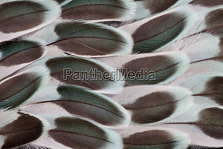 parakeet wing feather design
