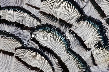 silver pheasant feather fan design