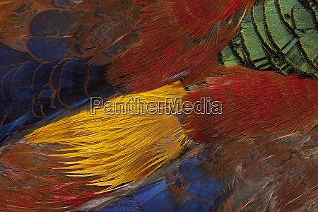 golden pheasant feather fan design