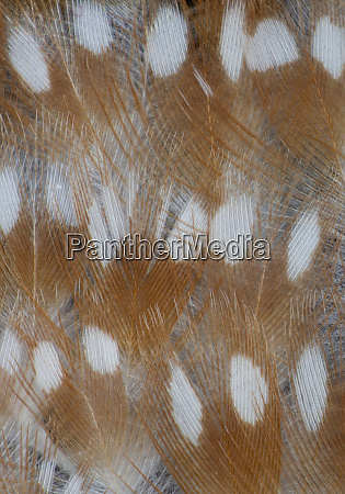 zebra finch feathers of a fawn