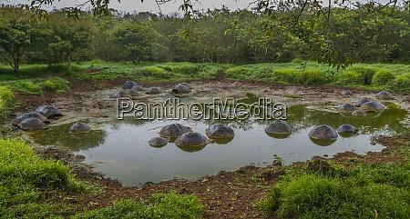 galapagos tortoises galapagos islands ecuador