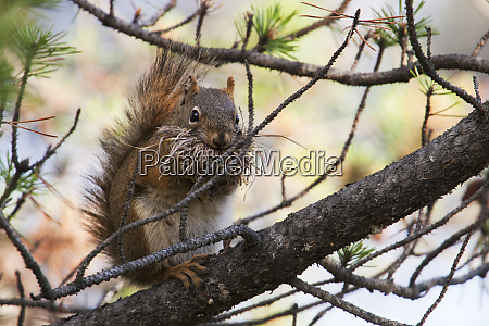 red squirrel with nesting material