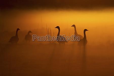 canada geese misty dawn