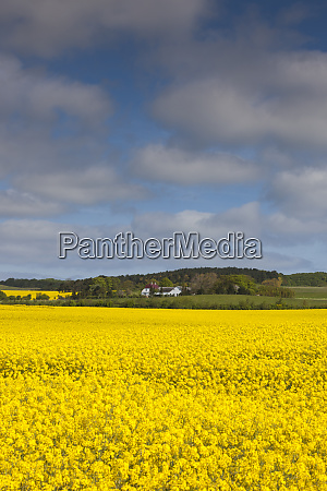 denmark mon magleby rapeseed field springtime