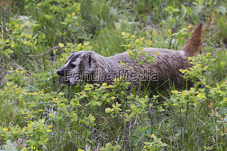 american badger with meal