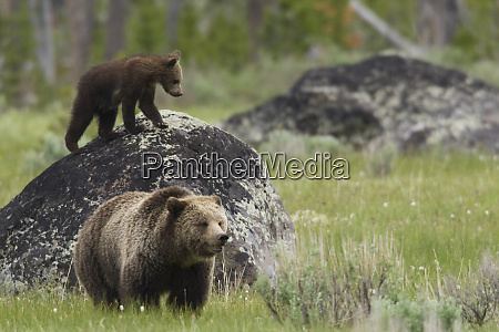 grizzly sow with playful cub