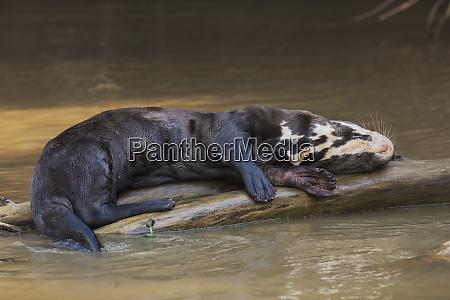 giant otter sleeping