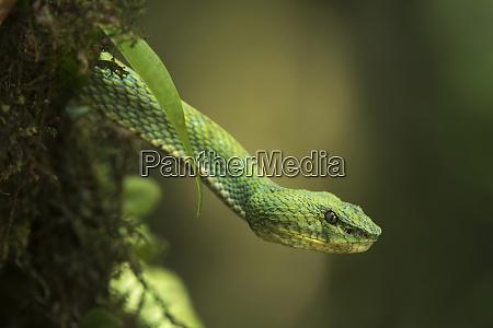 captive eyelash viper bothriechis schlegelii coastal
