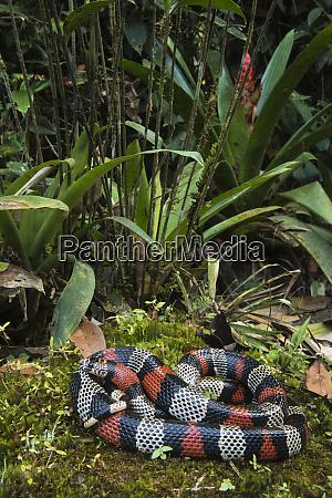 false coral milk snake lampropeltis triangulum