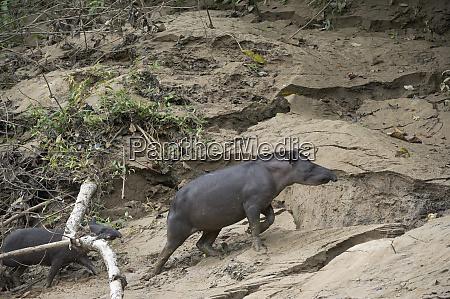 brazilian tapir tapirus terrestris mother and