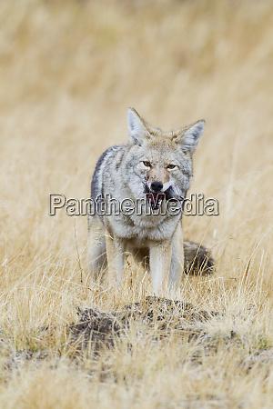 coyote successful hunt