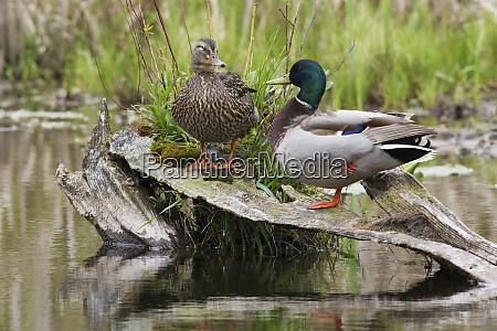 mallard pair resting