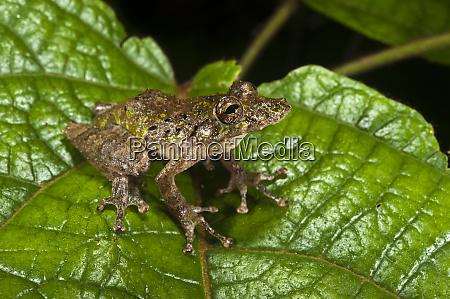 eirunepes snouted frog scinax garbei yasuni