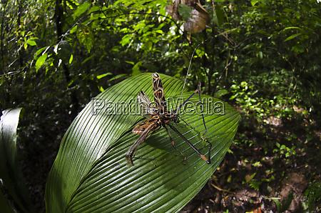 harlequin beetle acrocinus longimanus yasuni national