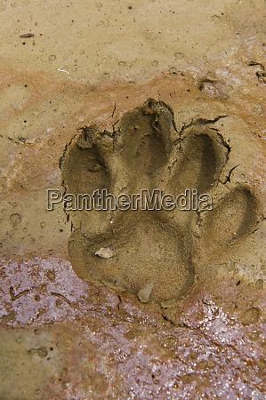 jaguar panthera onca footprints yasuni national