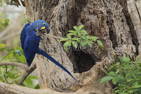 hyacinth macaw cleaning up around nest