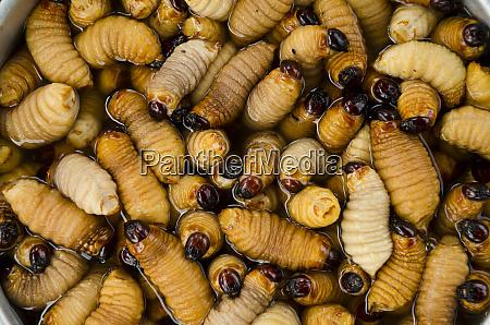 palm weevil grubs curculionidae rhynchophorus palmarum