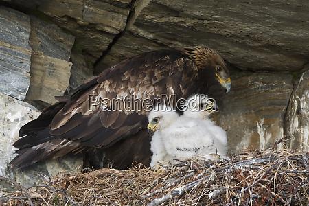 golden eagle tending 3 week old