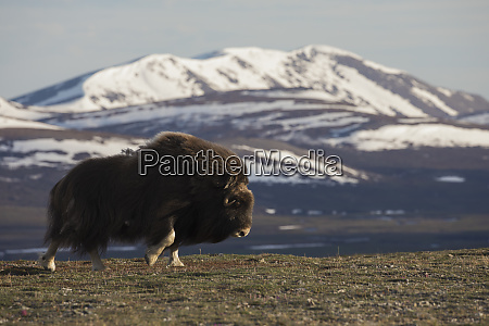 musk ox moving