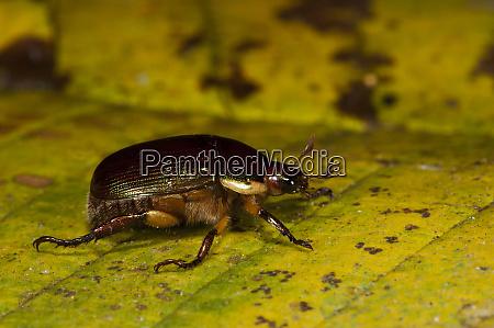 precious metal beetle pelidnota sumptuosa yasuni