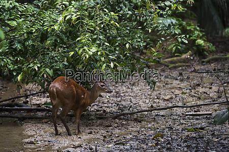 red brocket deer mazama americana male