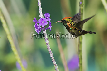 tufted coquette eating
