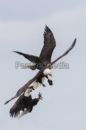 bald eagles battle for a snack