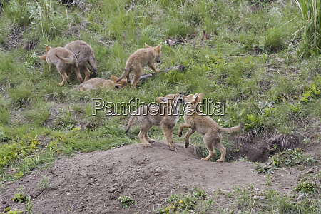 coyote pups playing near den