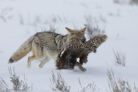 coyote with cache of elk hide