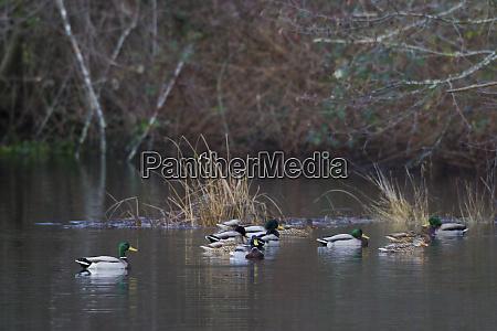 mallard duck brushy habitat