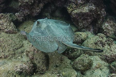 diamond stingray dasyatis brevis galapagos islands