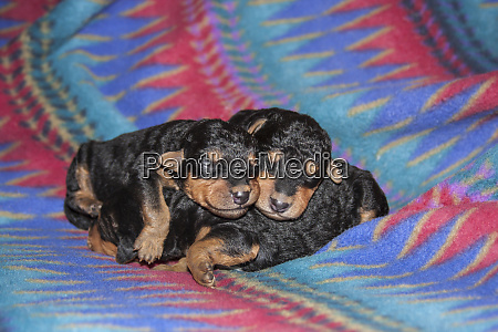 sleeping airedale puppies