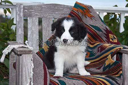 border collie puppy sitting