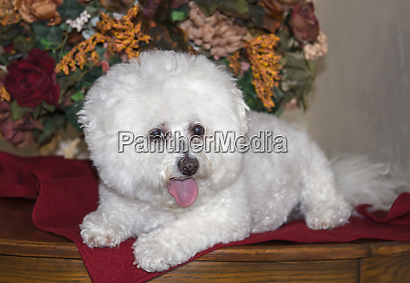 bichon frise lying on table