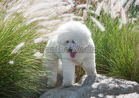 bichon frise in spring grasses mr