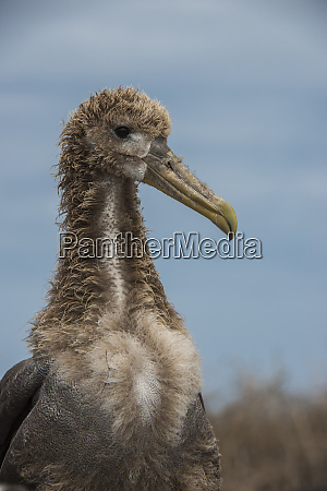 waved albatross phoebastria irrorata juvenile espanola
