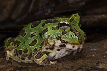 pacific horned frog ceratophrys stolzmanni captive