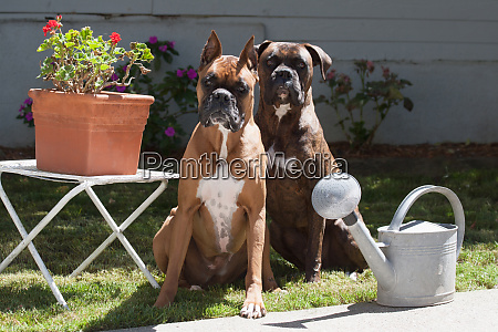 boxers sitting on lawn