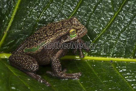silver marsupial frog gastrotheca plumbea base
