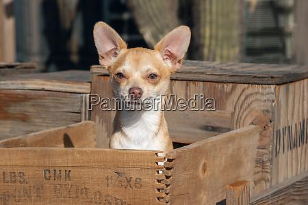 chihuahua in a box