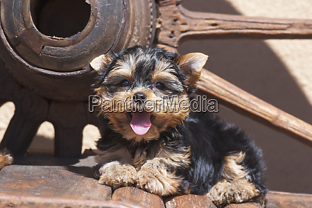 yorkshire terrier puppy laying by wooden