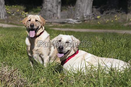two yellow labradors waiting pr