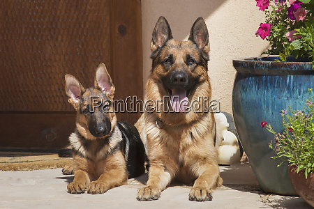 german shepherd adult and puppy pr