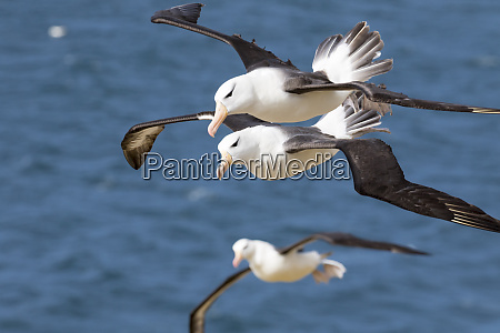 black browed albatross thalassarche melanophris or