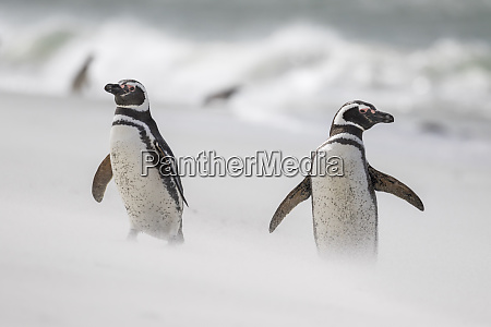magellanic penguin spheniscus magellanicus on beach