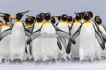 king penguin aptenodytes patagonicus falkland islands
