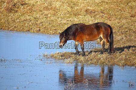 exmoor pony in the bingenheimer ried