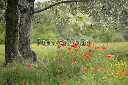 france vaucluse lourmarin poppies under an