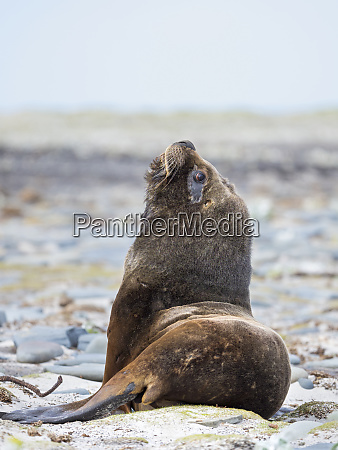 young south american sea lion bull