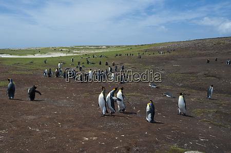 king penguin colony aptenodytes patagonica